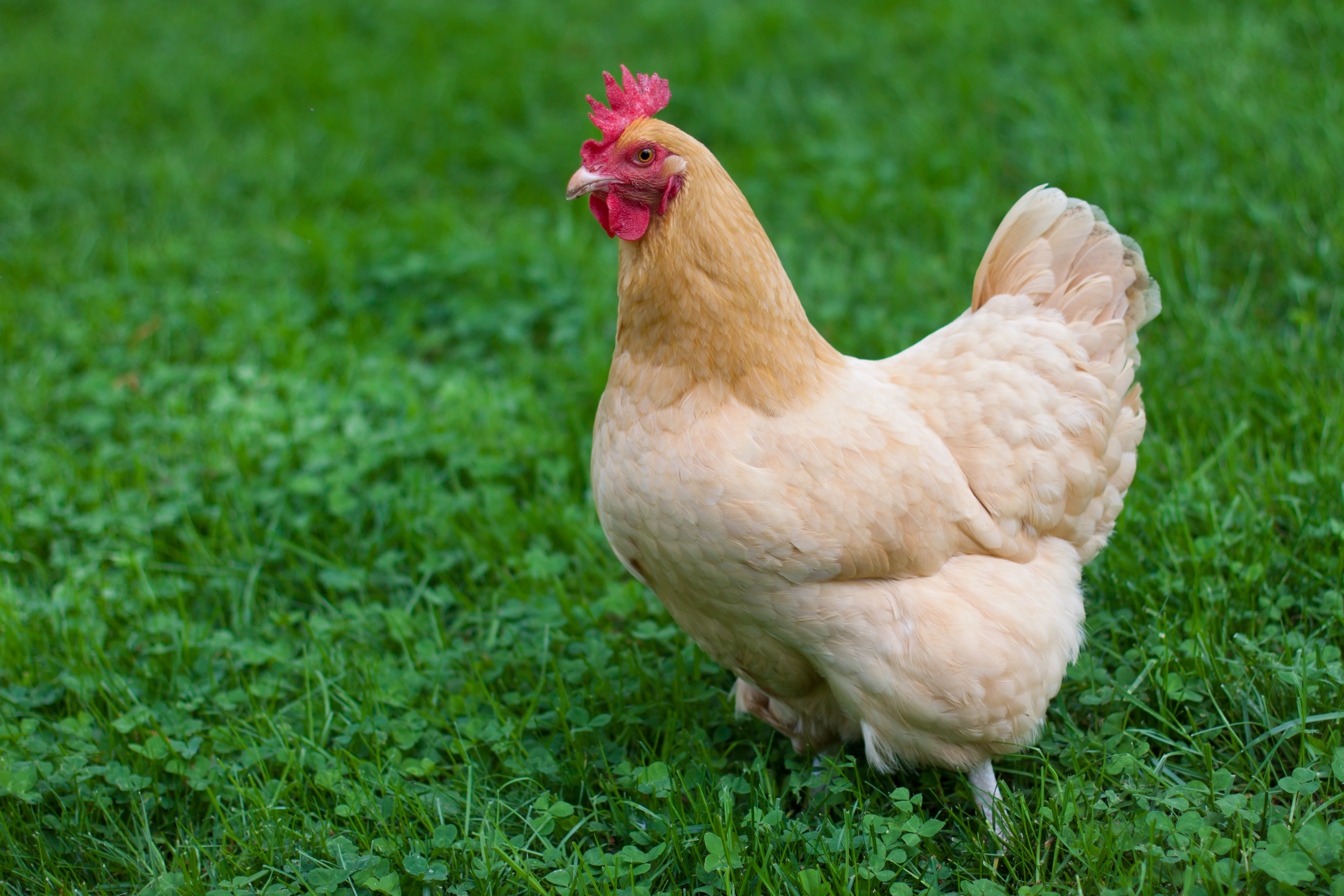 Getting started with chickens the ultimate guide abundant