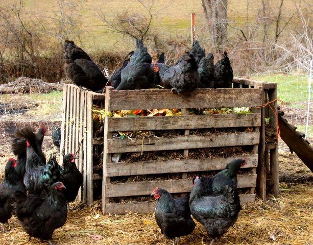 I Cut My Chicken Feed Bill 100 Abundant Permaculture
