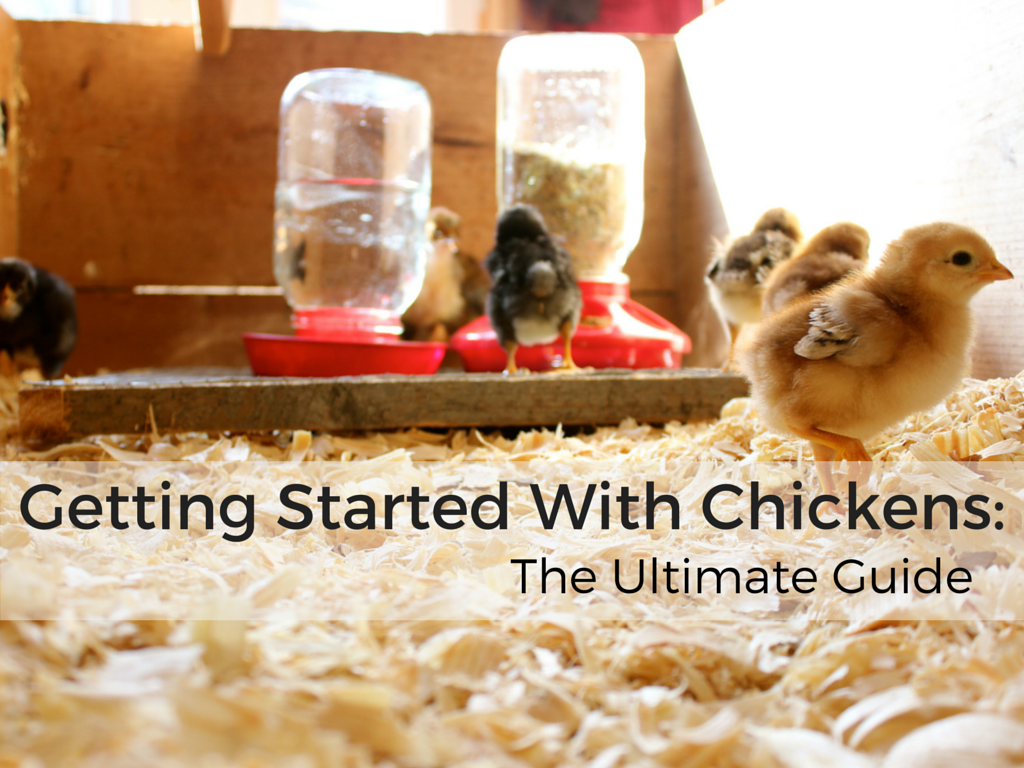 Getting Started with Chickens: The Ultimate Guide - Abundant