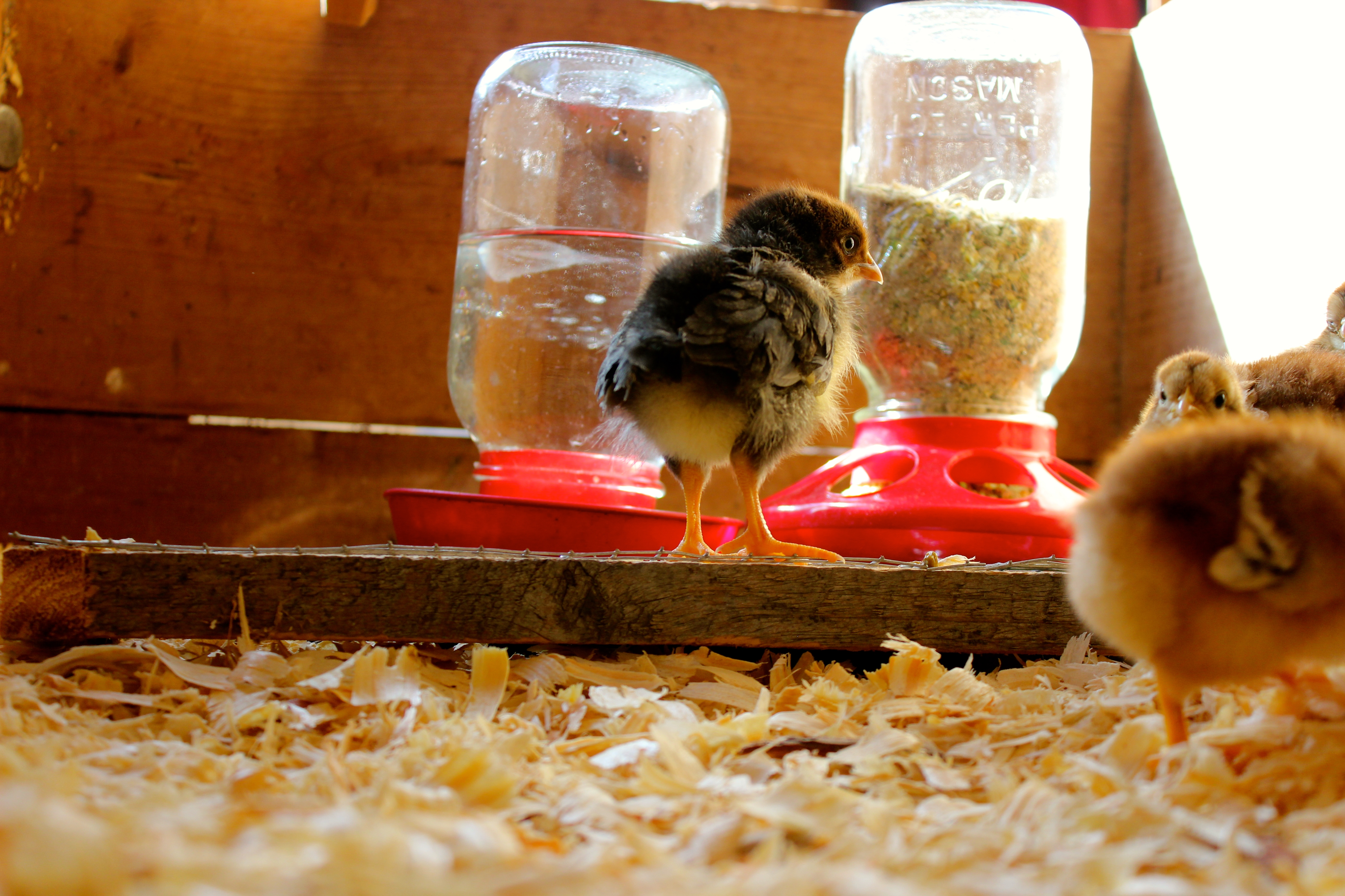 for diy feeder building chicken pet chicks blog on no the my sale waste