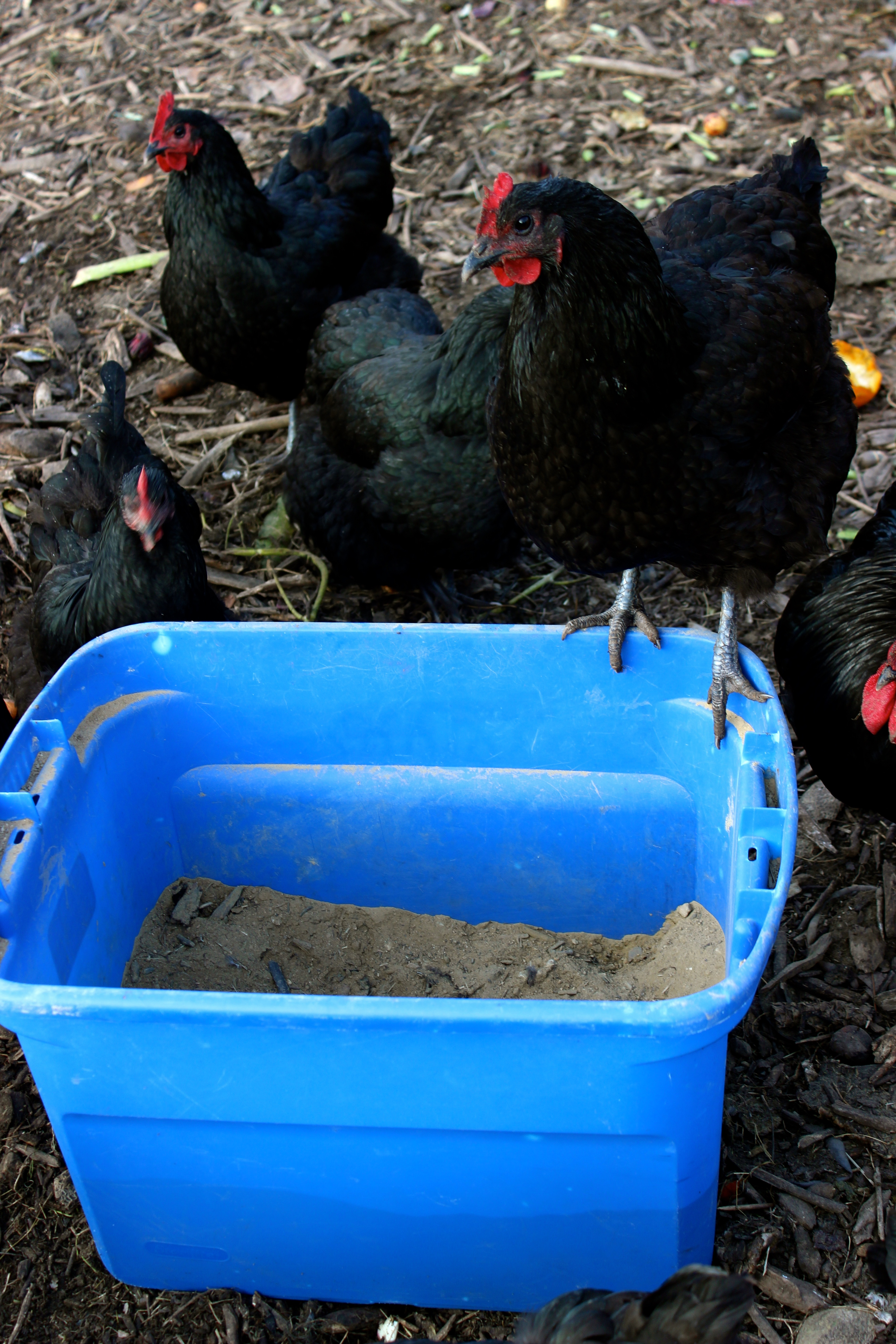 Chicken Coops That Work 5 Brilliant Ways Abundant Permaculture Parts Diagram Http Wwwnwbackyardveggiescom 2012 06 If Desired Provide An Outdoor Shelter Over Some Bare Earth For A Continual Dust Bath Ive Seen People Using Large Plastic Culvert Cut In Half