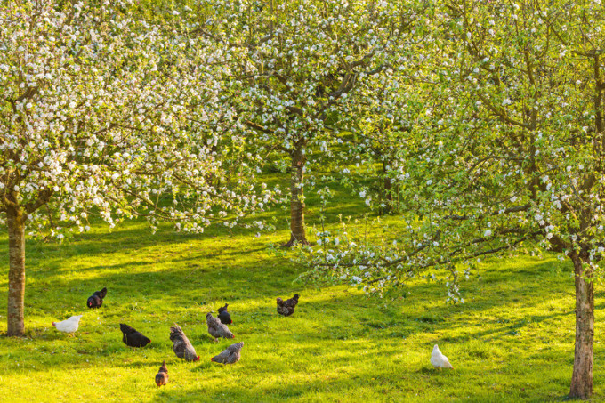 chickens_in_the_orchard