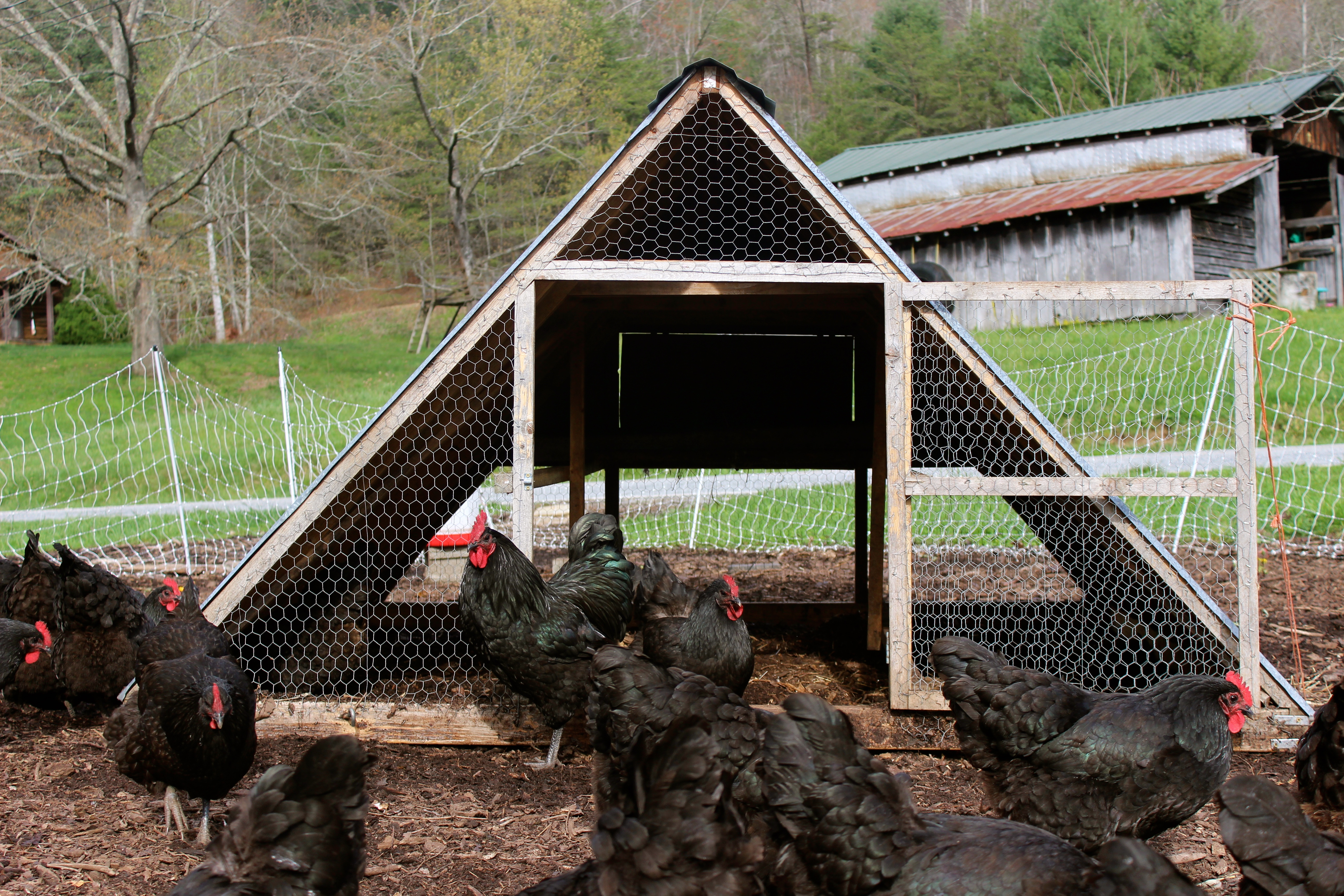Four basic functions of a chicken coop