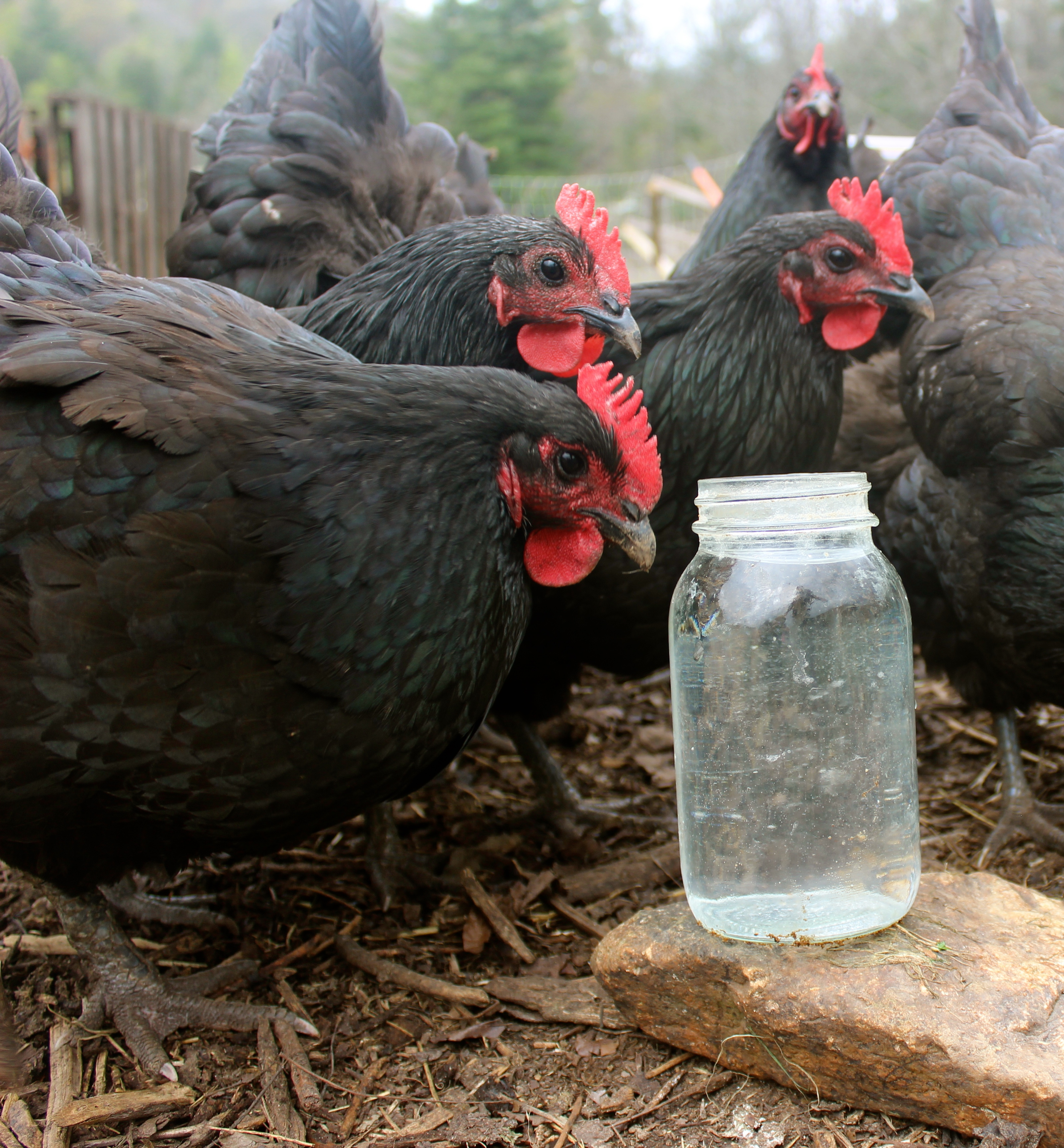 7 essentials for keeping your chicken flock alive and happy
