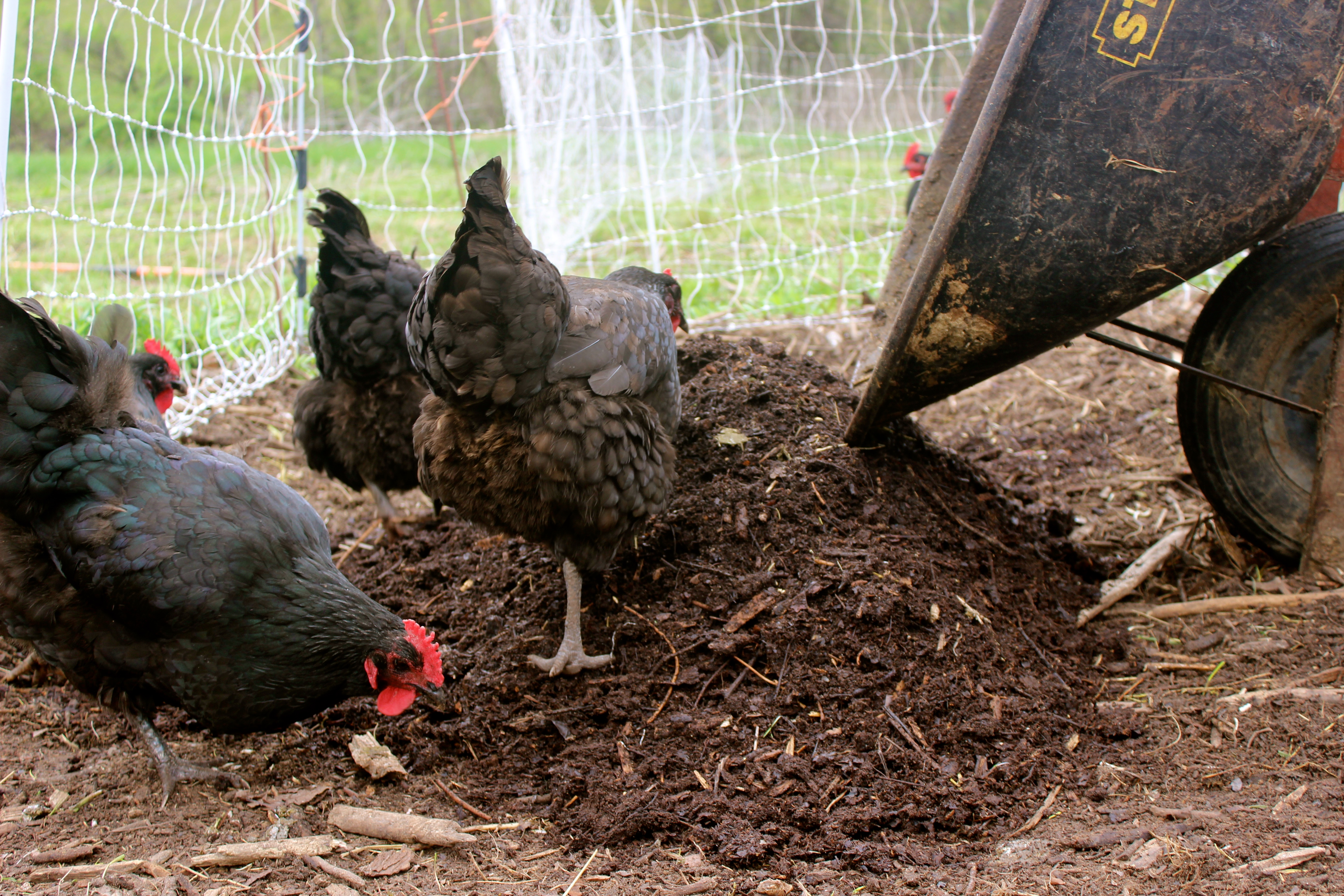 Chicken Power: 8 Strategies for Putting Your Flock to Work