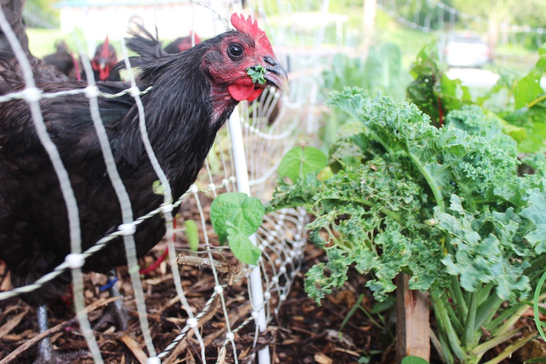 How To Feed Your Chickens Without Grain 20 Ways To Cut Your Costs