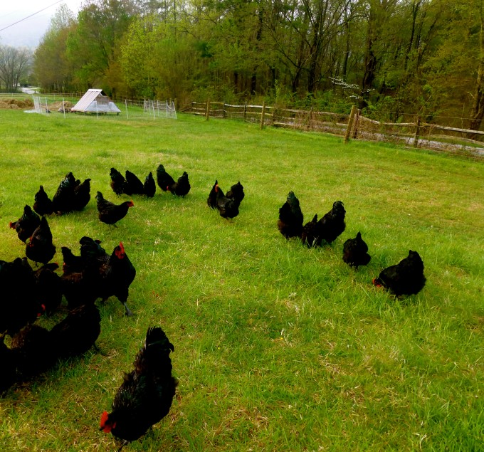 How to Feed Your Chickens Without Grain - 20 Ways to Cut Your Costs