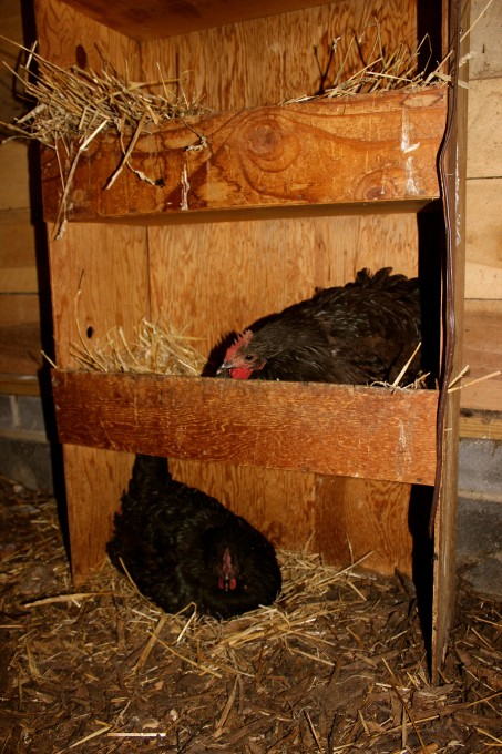 These two broody hens refuse to leave the nest except to eat and relieve themselves.