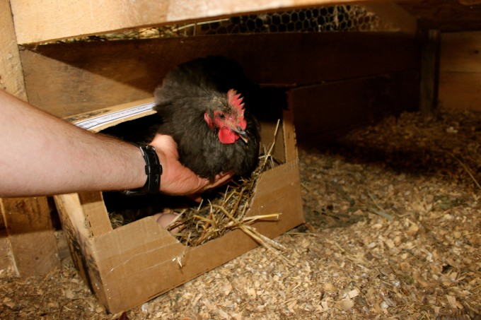 Place your hen in the box.