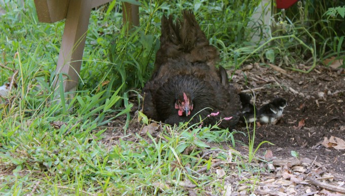 One of my hens with her chicks.