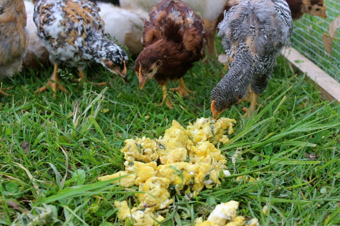 Chicks eating the egg custard.