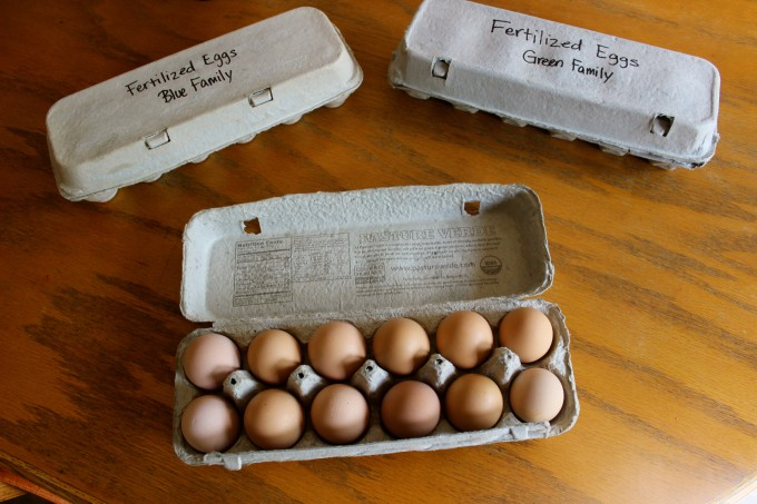 Store your fertilized eggs at room temperature and rotate out the old eggs for new ones.