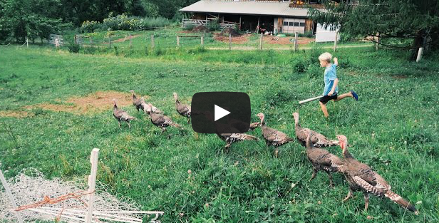 Day 96: ALL The Turkeys Got OUT!